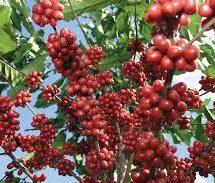 Afectadas más de 500 familias por ingreso de café robusta